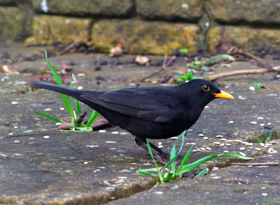 Blackbird - Stephen Dunsten